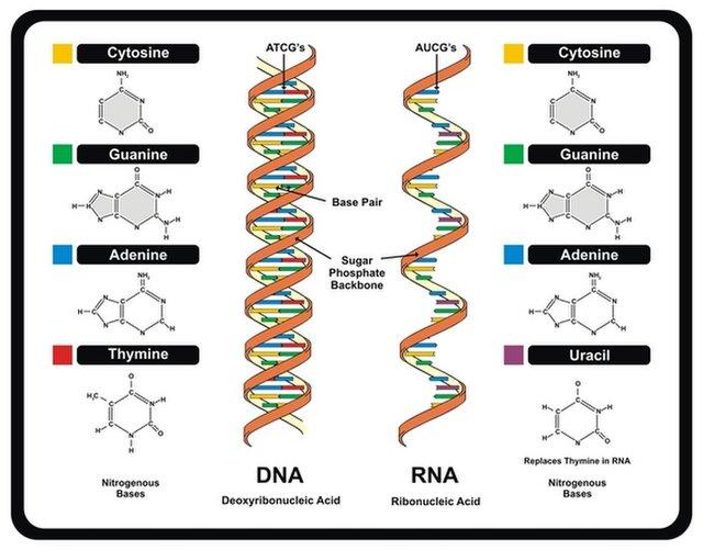 डीएनए और आरएनए में अंतर बताइए,डीएनए और आरएनए में क्या अंतर है,डीएनए और आरएनए में अंतर लिखिए,डीएनए और आरएनए हिंदी में अलग,डीएनए परिभाषा in hindi,आर एन ए की खोज किसने की थी,डीएनए क्या है,rna के कार्य,डीएनए की खोज,डीएनए फुल फॉर्म इन हिंदी,टी आरएनए संरचना,rna के कार्य rna क्या है,रना की खोज किसने की,आर एन ए का फुल फॉर्म,आर एन ए का पूरा नाम बताइ,डीएनए और आरएनए में अंतर, डीएनए क्या होता हैं? आरएनए क्या होता हैं? आरएनए और डीएनए में अंतर, डीएनए के प्रकार, डीएनए की खोज किसने की थी? आरएनए की खोज किसने की थी?